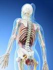 Modelo del cuerpo humano que muestra la anatomía femenina y los vasos sanguíneos, ilustración digital de renderizado 3D . - foto de stock