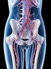 Sistema vascular abdominal femenino, ilustración por ordenador . - foto de stock