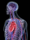 Sistema cardiovascular en el cuerpo masculino normal, ilustración por computadora . — Stock Photo
