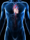 Silueta corporal masculina que muestra anatomía del corazón, ilustración por computadora . - foto de stock