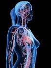 Cuerpo femenino con sistema cardiovascular visible, ilustración digital . - foto de stock