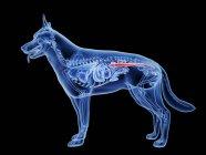 Silueta para perros con intestino grueso de color rojo sobre fondo negro, ilustración digital . - foto de stock