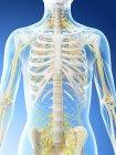 Sistema nervioso de la parte superior del cuerpo femenino, ilustración por ordenador . - foto de stock
