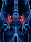 Human silhouette showing lower back pain, conceptual illustration. — стокове фото