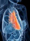 Anatomía femenina que muestra el corazón en silueta transparente del cuerpo, ilustración por computadora . - foto de stock
