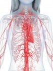 Cuerpo femenino con corazón visible y sistema cardiovascular, ilustración digital . - foto de stock