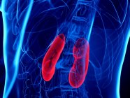 Red colored kidneys in abstract human body, digital illustration. — Stock Photo