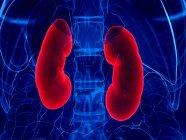 Riñones de color rojo en cuerpo humano abstracto, ilustración digital . - foto de stock
