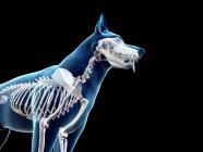 Estructura del esqueleto del perro, recortado, ilustración de la computadora . - foto de stock