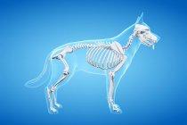 Estructura del esqueleto del perro, ilustración de la computadora . - foto de stock