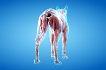 Structure of dog musculature, rear view, computer illustration. — Stock Photo