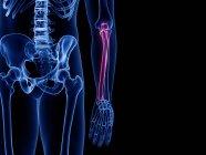 Hueso de Ulna en el esqueleto del cuerpo humano, ilustración por computadora . - foto de stock