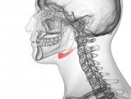 Hueso hioides en cuerpo humano transparente, ilustración por computadora . - foto de stock