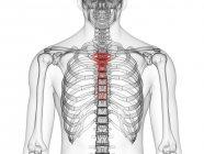 Silueta y esqueleto humano transparente con hueso mamario detallado, ilustración digital . - foto de stock