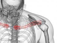Clavícula ósea en cuerpo humano transparente, ilustración por ordenador . - foto de stock