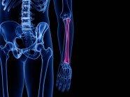 Raio ósseo no esqueleto do corpo humano, ilustração computacional . — Fotografia de Stock