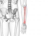 Hueso de radio en el esqueleto del cuerpo humano, ilustración por computadora . - foto de stock