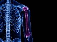 Oberarmknochen im transparenten menschlichen Körper, Computerillustration. — Stockfoto