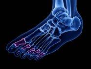 Falange media huesos detallados en el cuerpo humano, ilustración por ordenador . - foto de stock