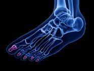 Falange distal huesos detallados en el cuerpo humano, ilustración por ordenador . - foto de stock