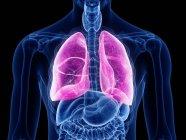 Silueta masculina transparente con pulmones de colores, ilustración por ordenador . - foto de stock