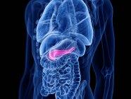 Páncreas de color rosa en el cuerpo humano masculino, ilustración digital . - foto de stock