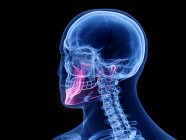 Hueso de la mandíbula en el cuerpo humano transparente, ilustración por computadora . - foto de stock