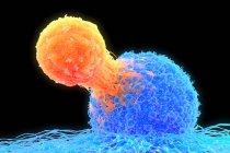 Linfocito T (naranja) unido a una célula cancerosa (azul), ilustración. Los linfocitos T son un tipo de glóbulo blanco que madura en el timo. - foto de stock