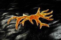 Balamuthia mandrillaris amoeba, компьютерная иллюстрация — стоковое фото