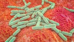 Lactobacillus bacteria, ilustración por ordenador. Componente principal del microbioma del intestino delgado humano - foto de stock