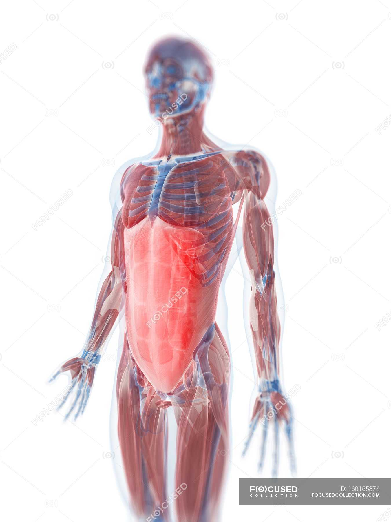 Rectus Abdominis Muscle Stock Photo 160165874