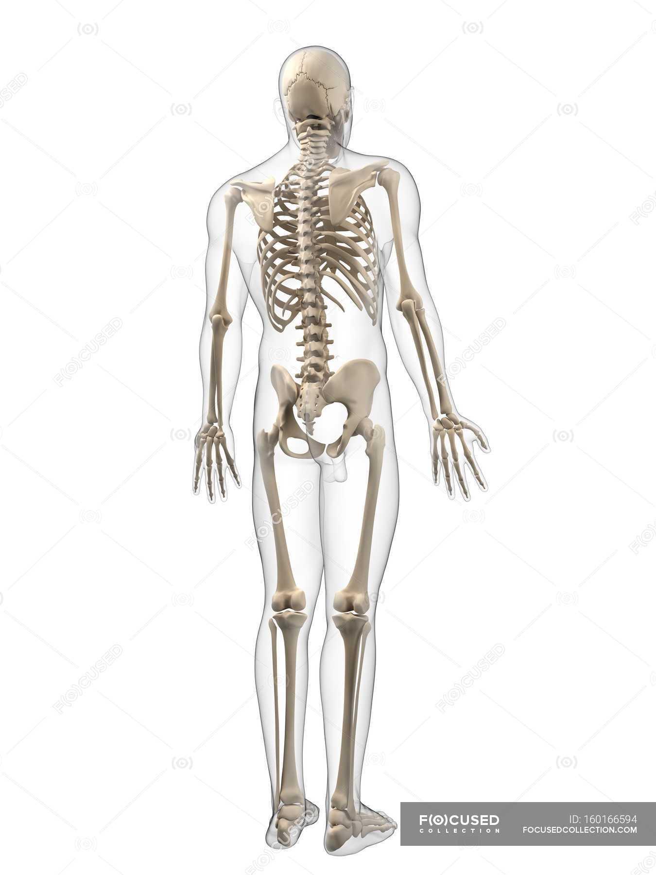 diagram of male skeleton adult male skeleton     healthy  bones stock photo 160166594  adult male skeleton     healthy  bones