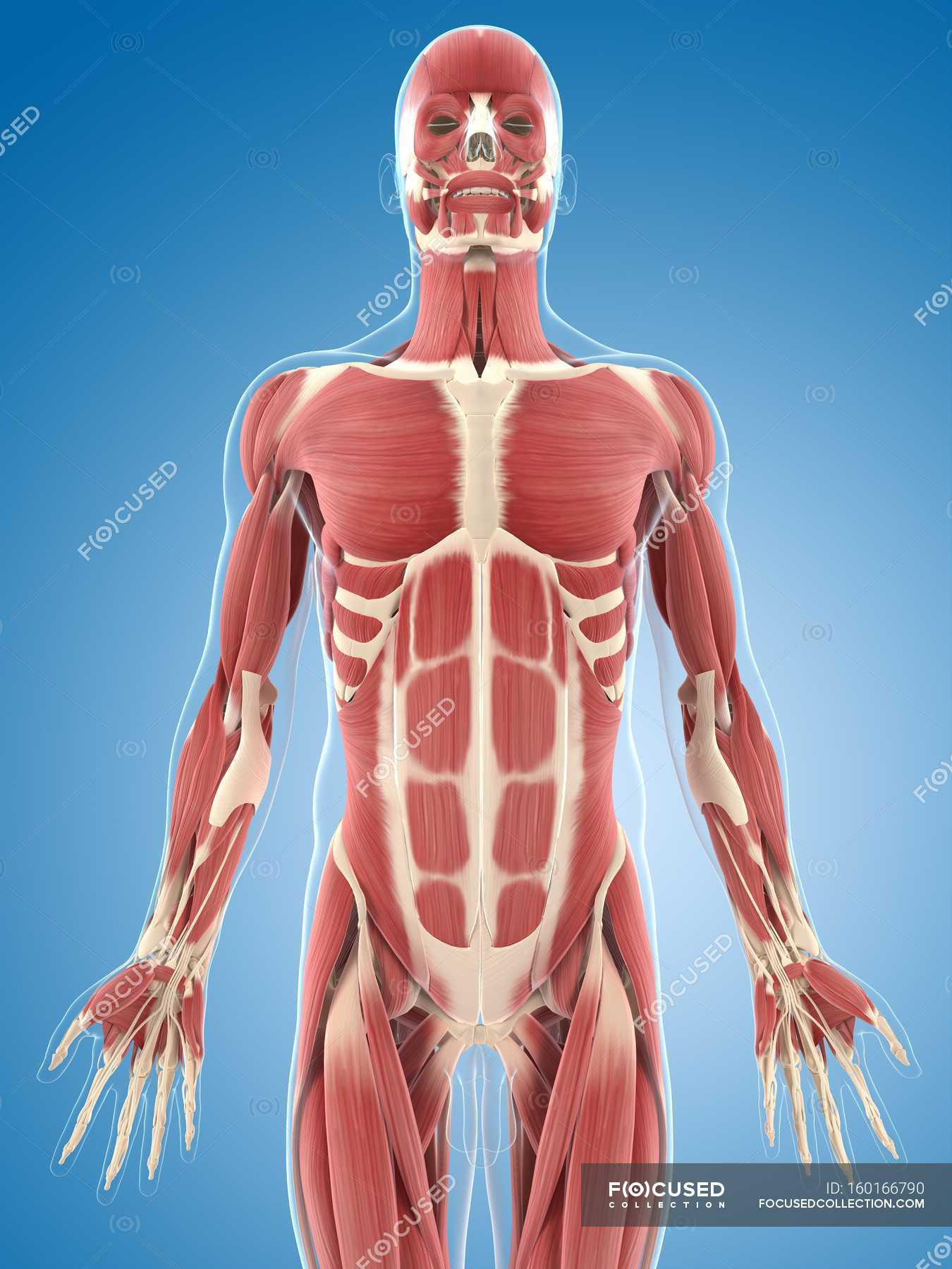 Male chest musculature — Stock Photo   #160166790