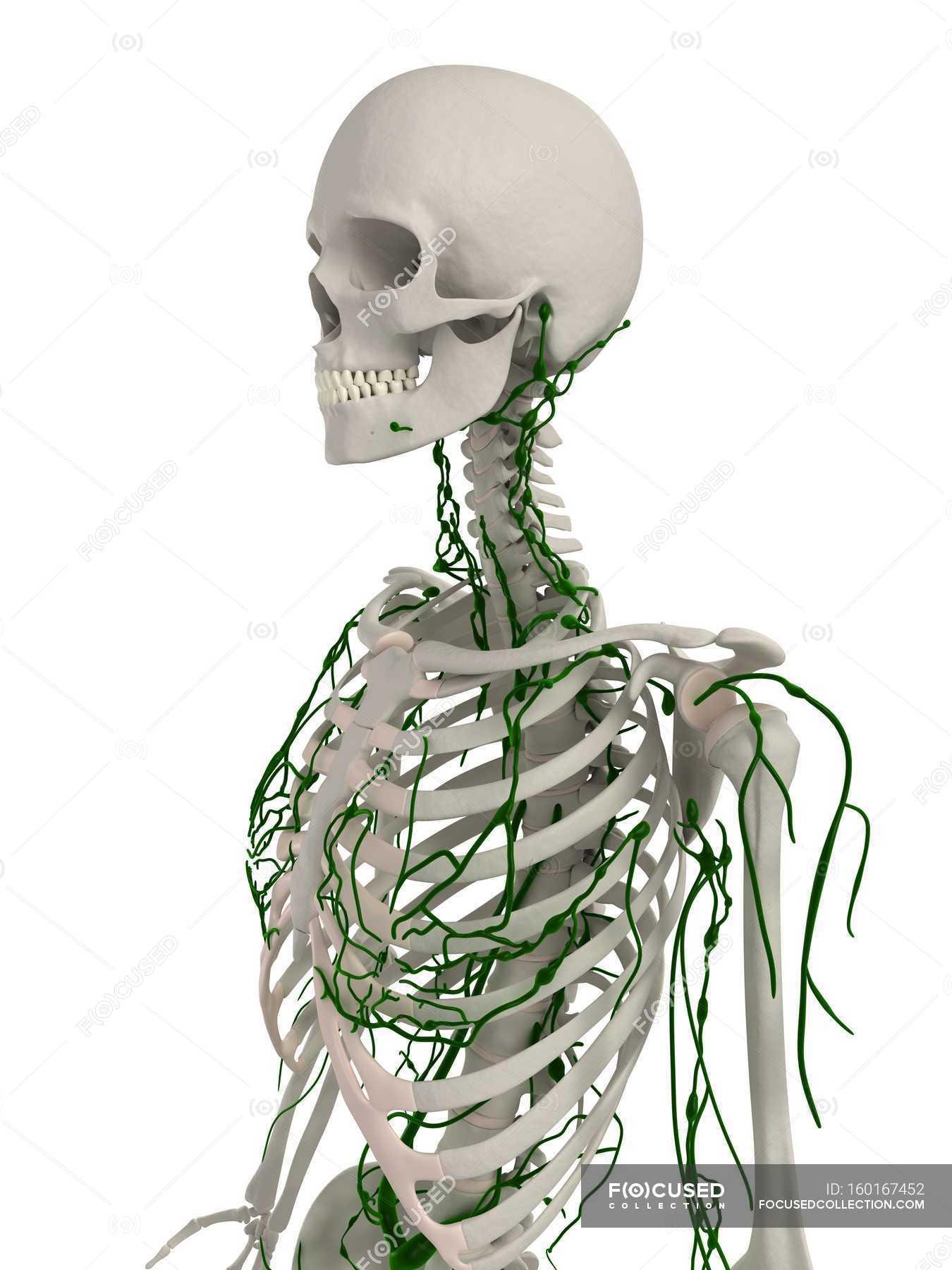 Großartig Skelett System Bilder Fotos - Anatomie Ideen - finotti.info