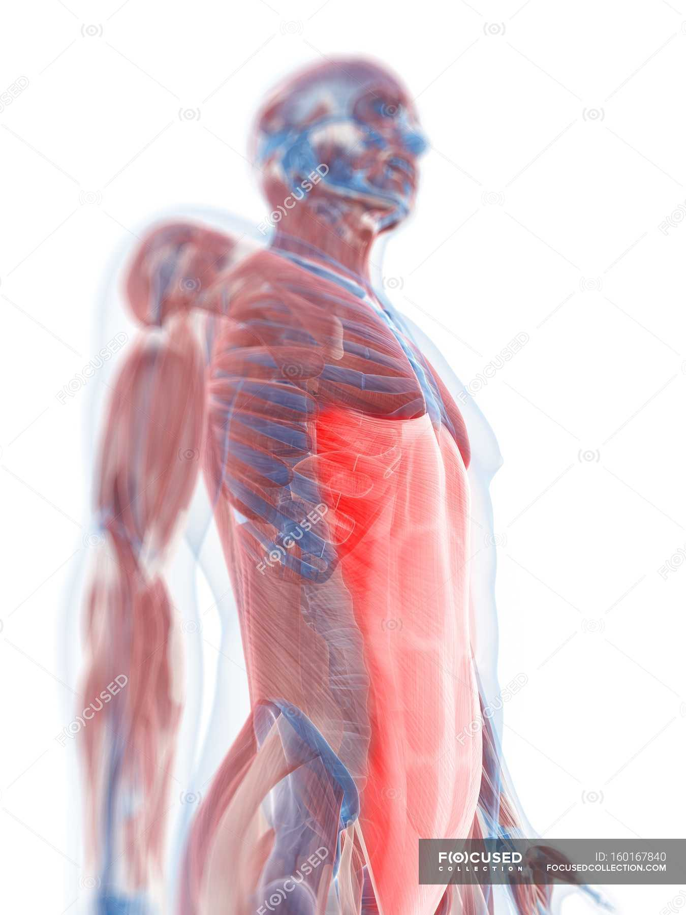 Rectus Abdominis Muscle Stock Photo 160167840