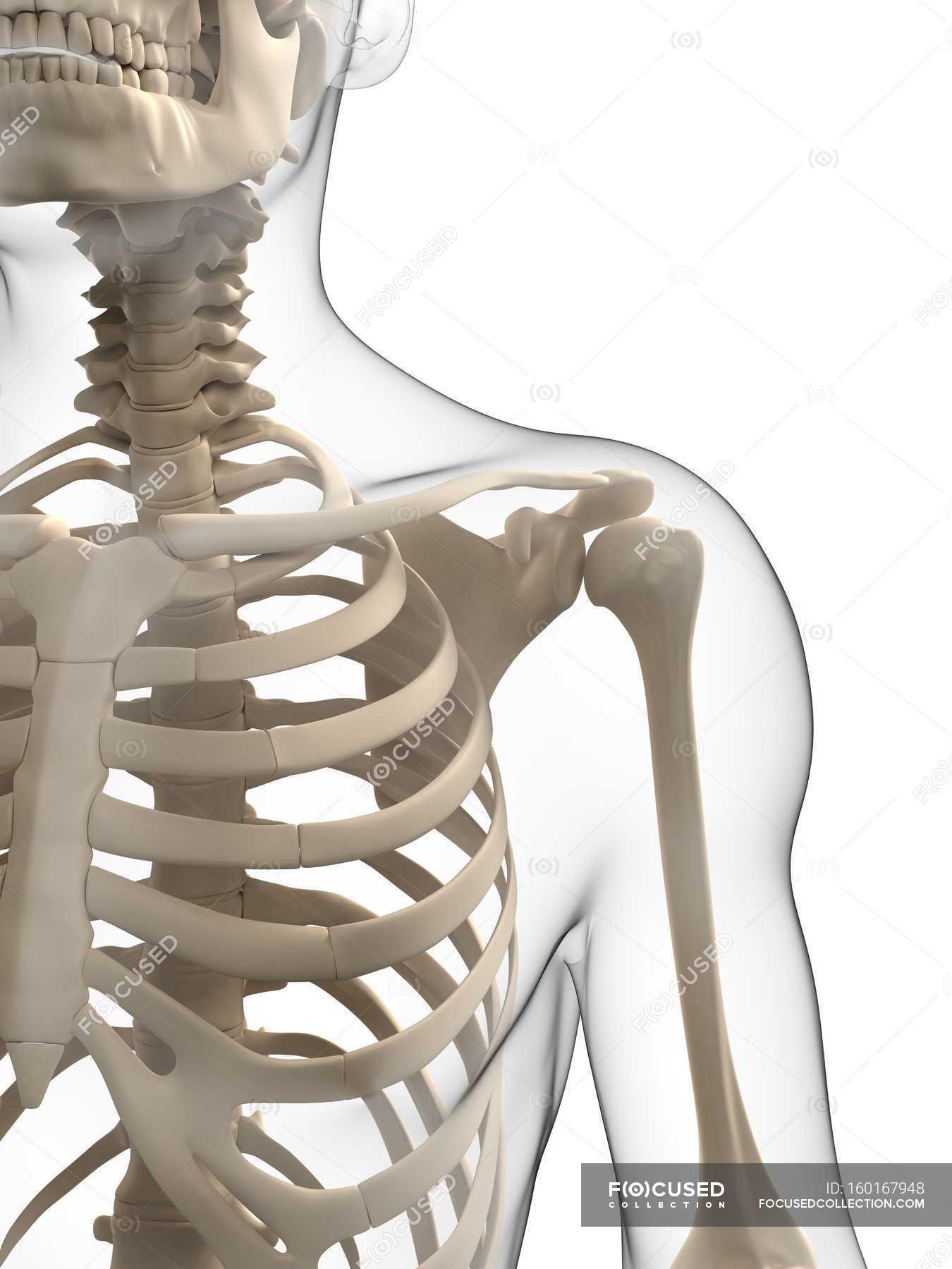 Upper Body Bones White Background Front View Stock Photo