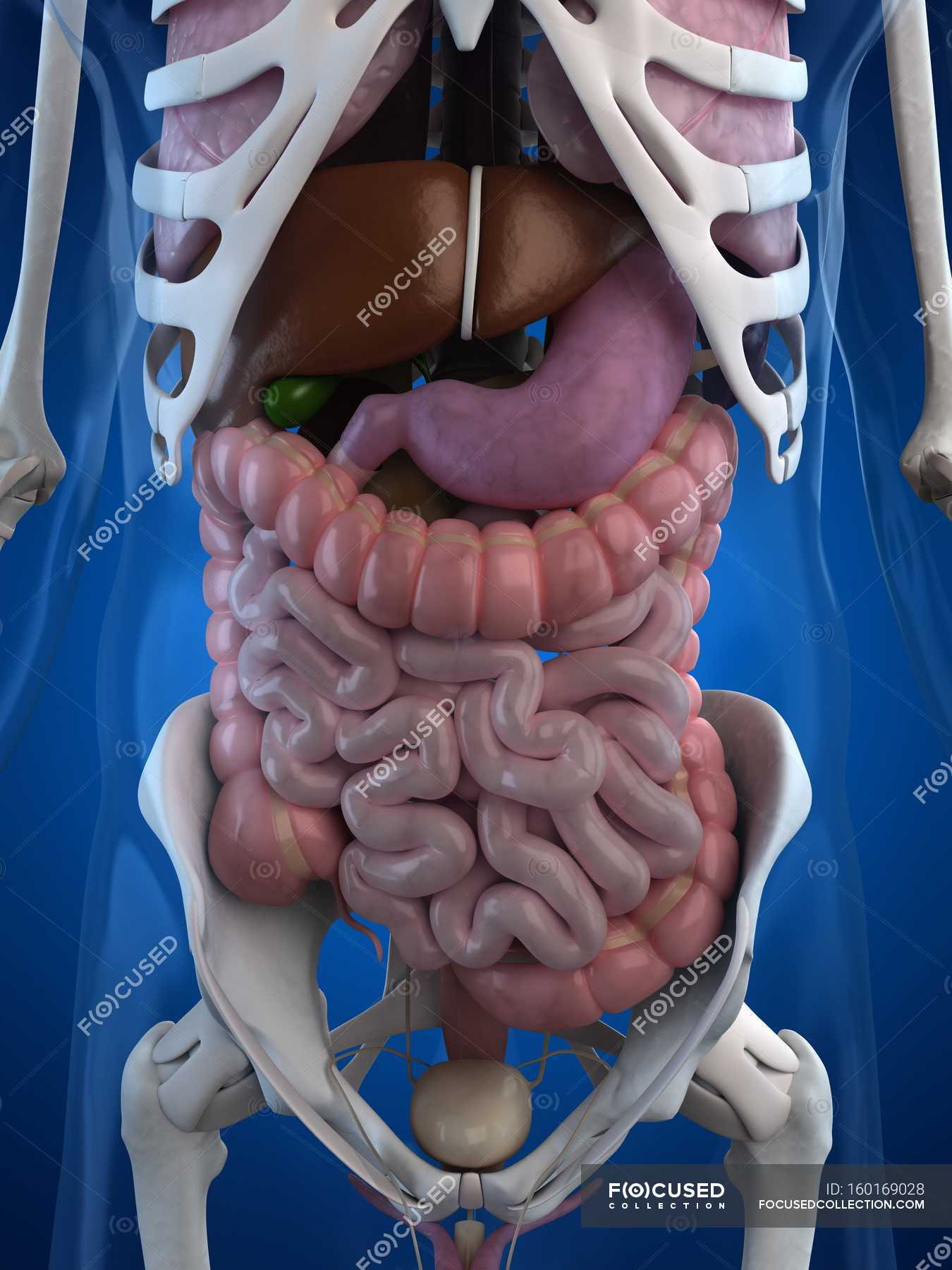 Anatomie des menschlichen Magen-Darm-Trakt — Stockfoto | #160169028