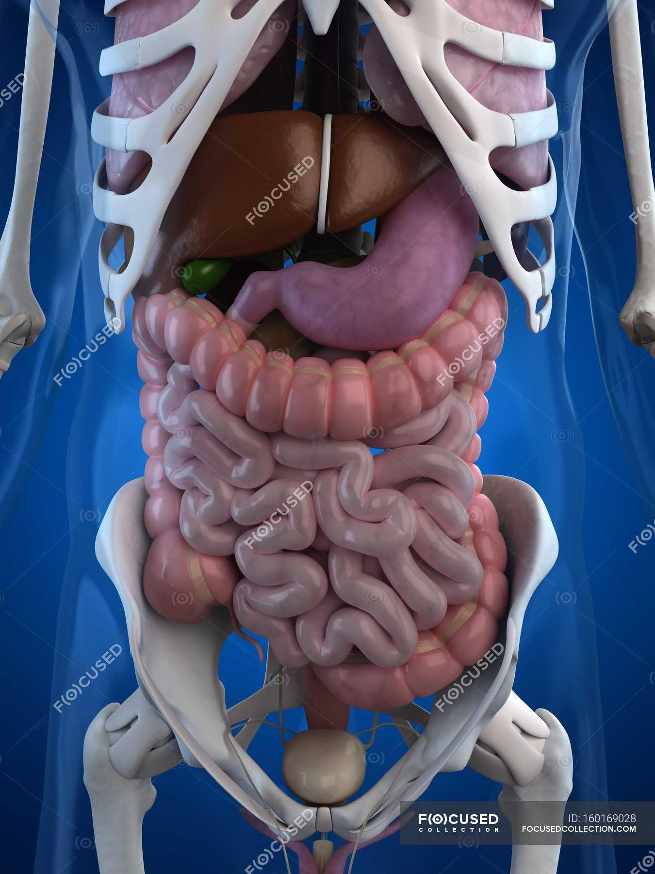 Human gastrointestinal tract anatomy — Stock Photo | #160169028
