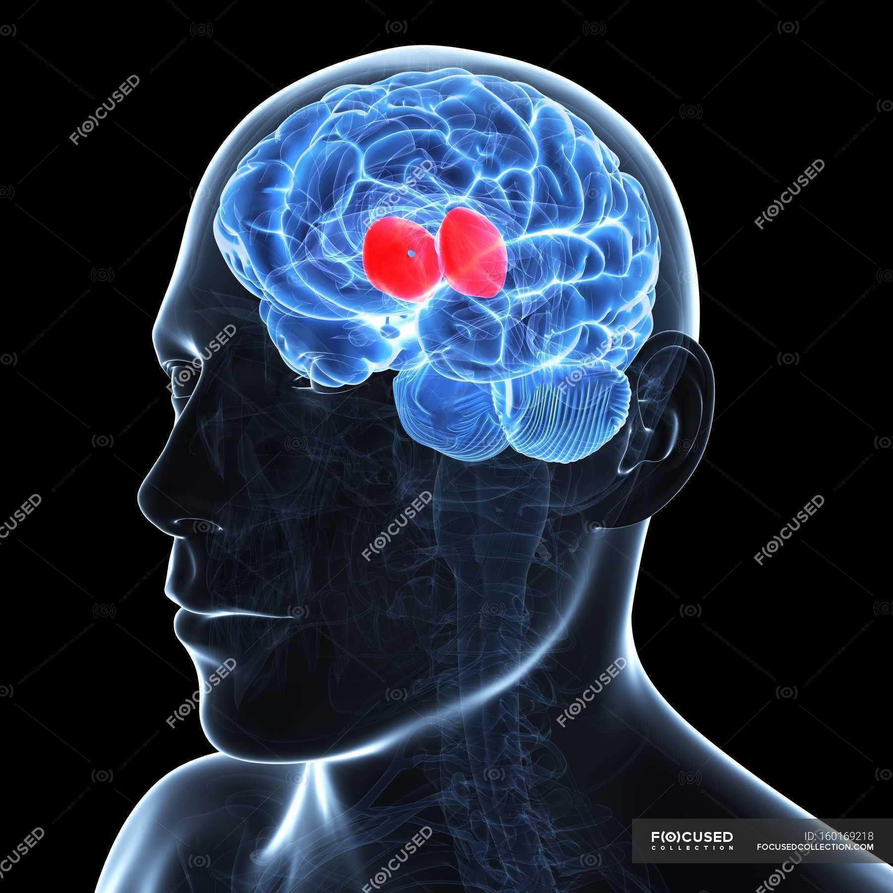 Kunstwerk des Gehirns Thalamus zeigen — Stockfoto | #160169218