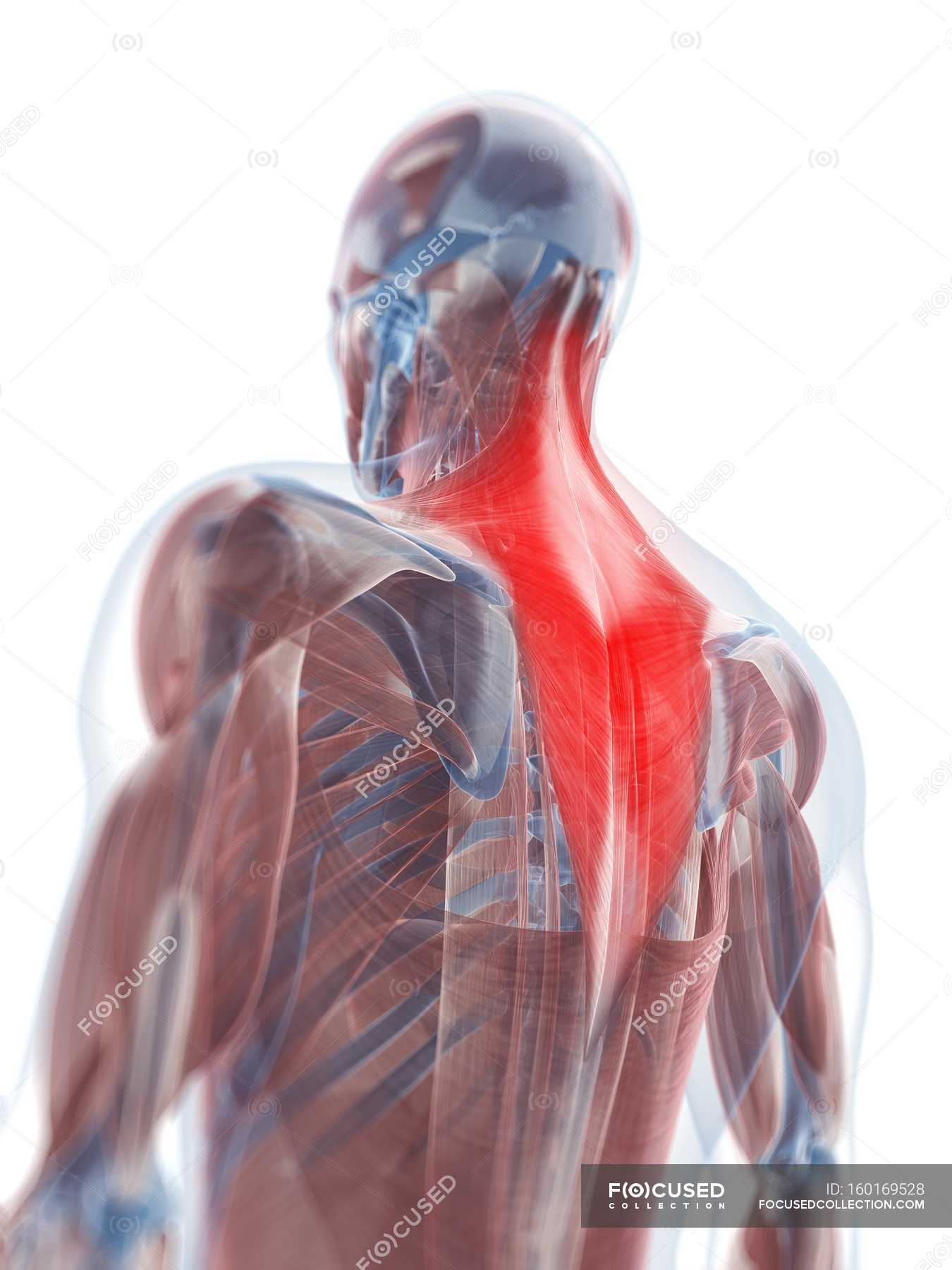 View Of Trapezius Muscle White Background Close Up Stock Photo