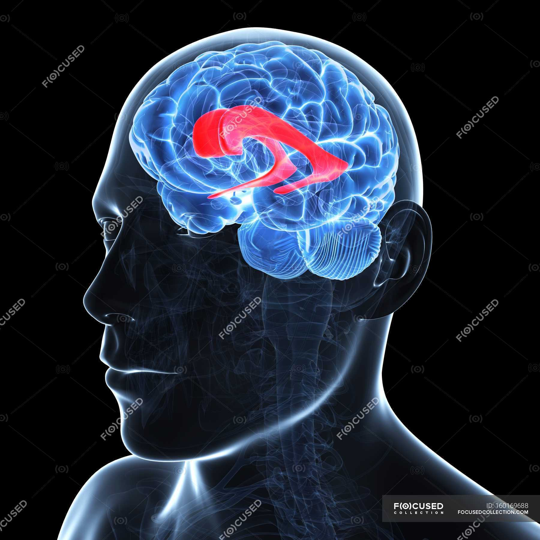 Brain showing lateral ventricle — Stock Photo | #160169688