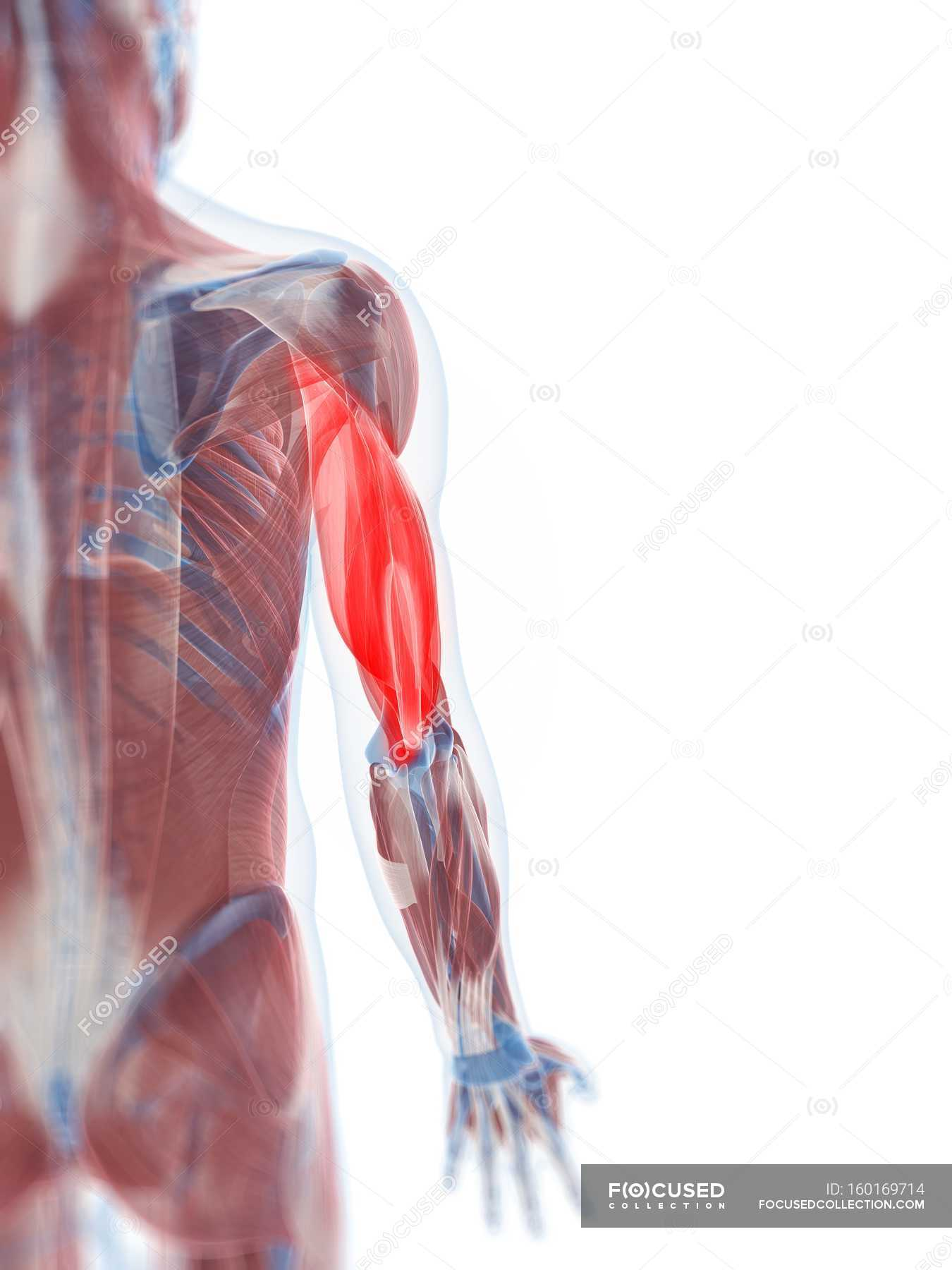View Of Triceps Muscle White Background Close Up Stock Photo