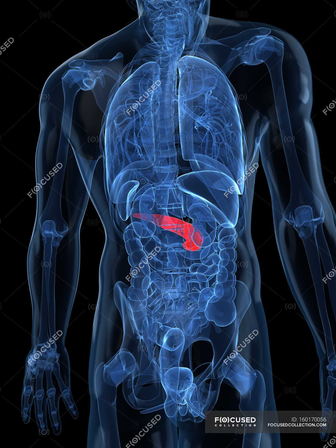 Blick auf gesunde Bauchspeicheldrüse — Stockfoto | #160170056
