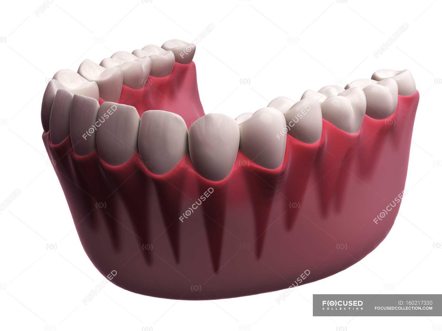 Human Teeth Anatomy Stock Photo 160217330