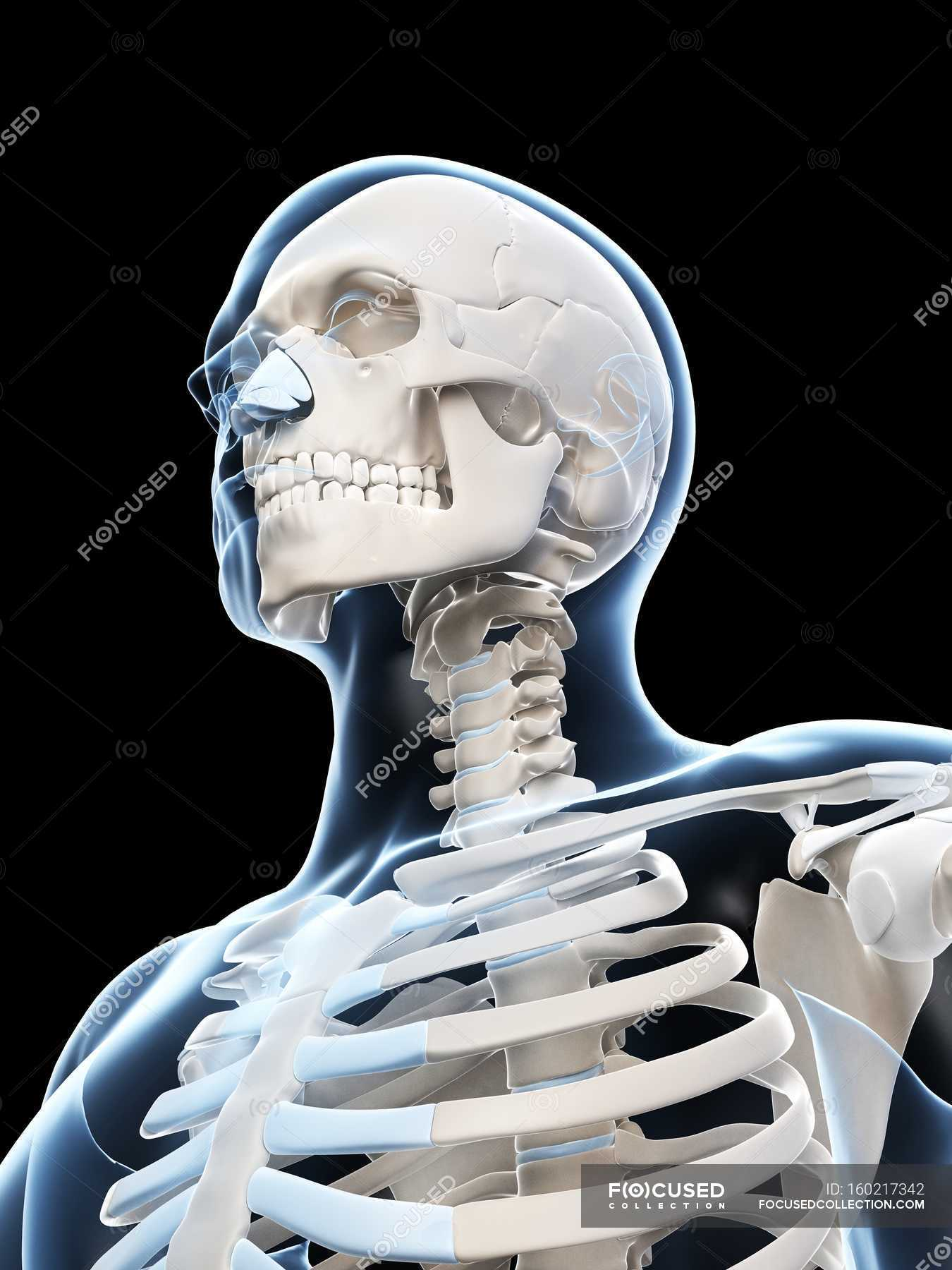 Human Skull And Neck Structure Stock Photo 160217342