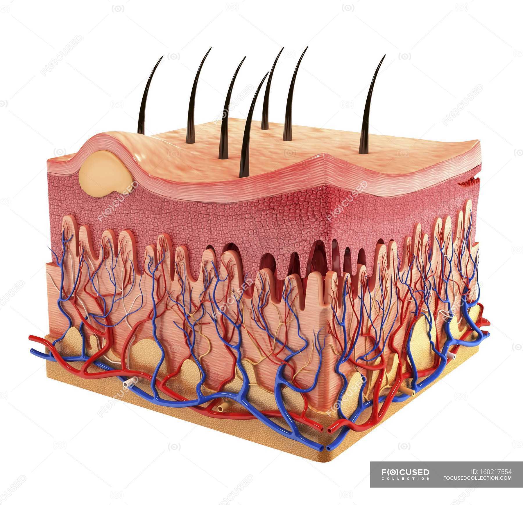 Anatomie der Haut Gewebe Schichtung zeigen — Stockfoto | #160217554