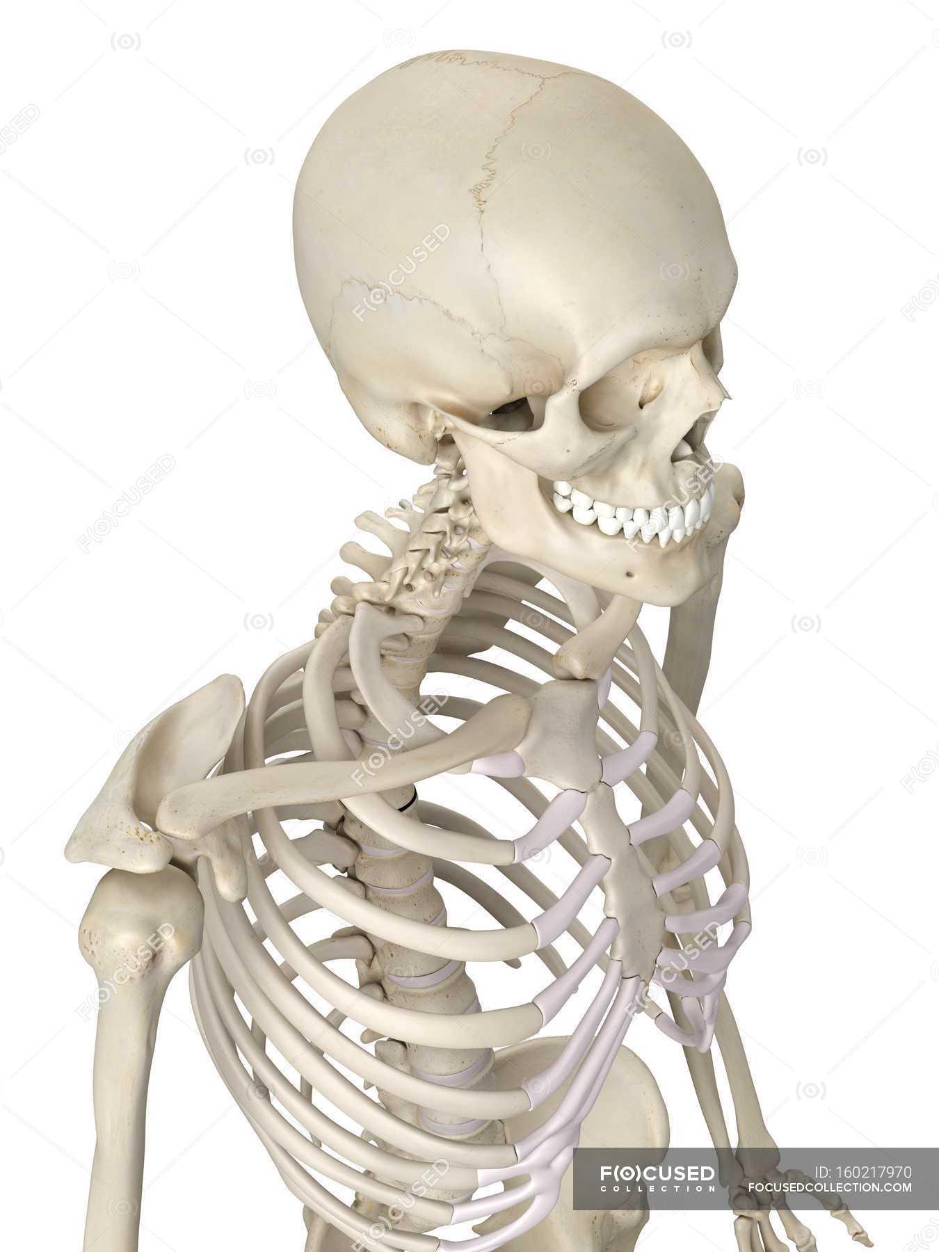 Anatomie der menschlichen Brustkorb — Stockfoto | #160217970
