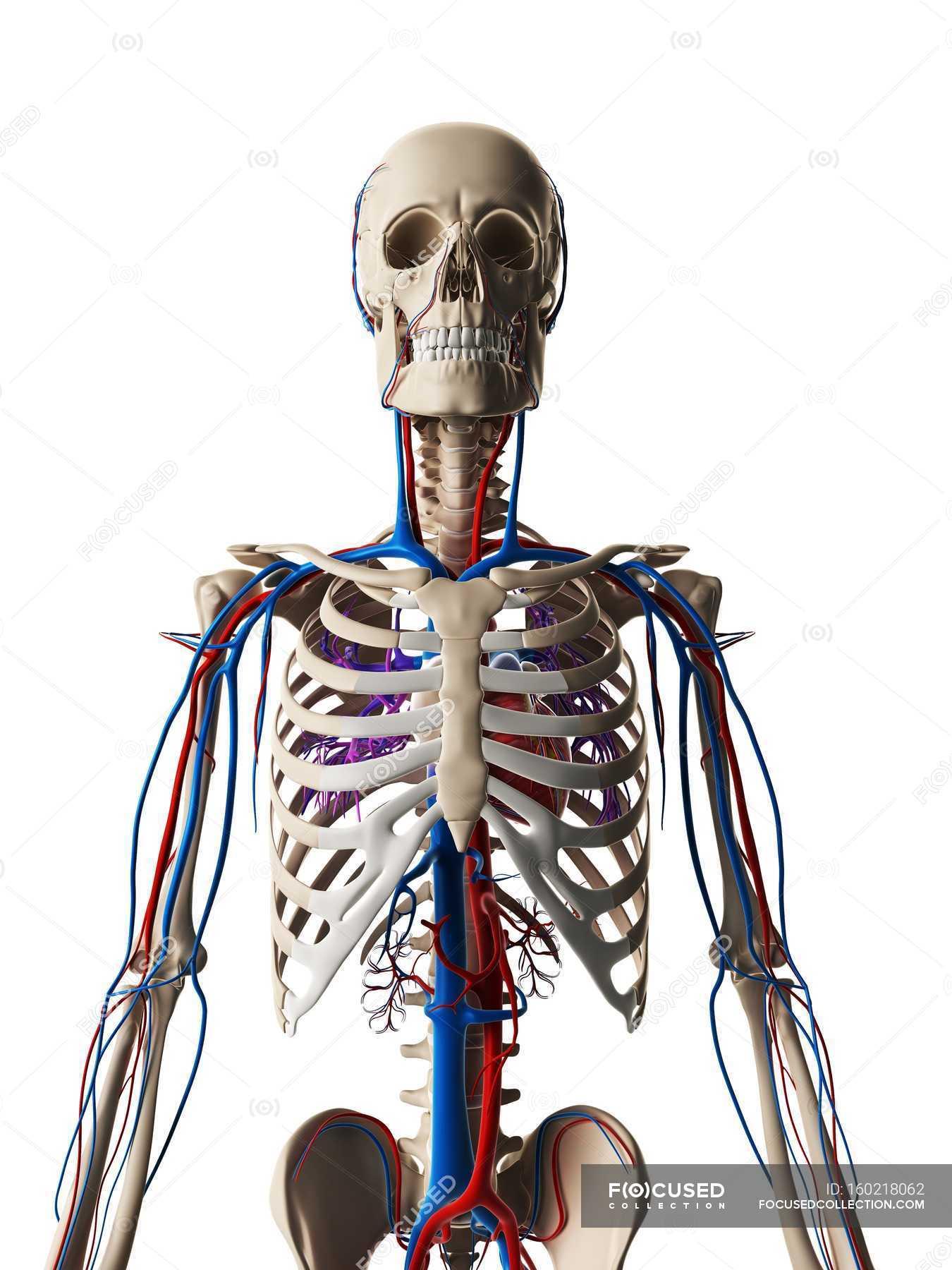 Human Vascular System Stock Photo 160218062