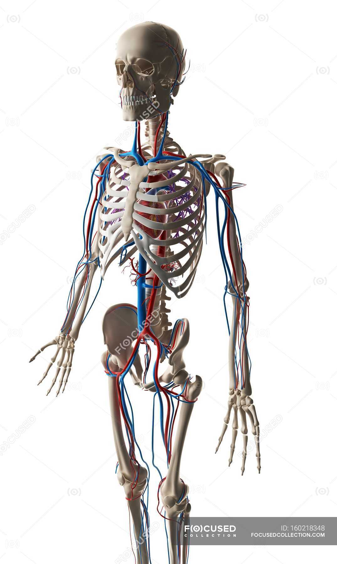 Human Vascular System Stock Photo 160218348