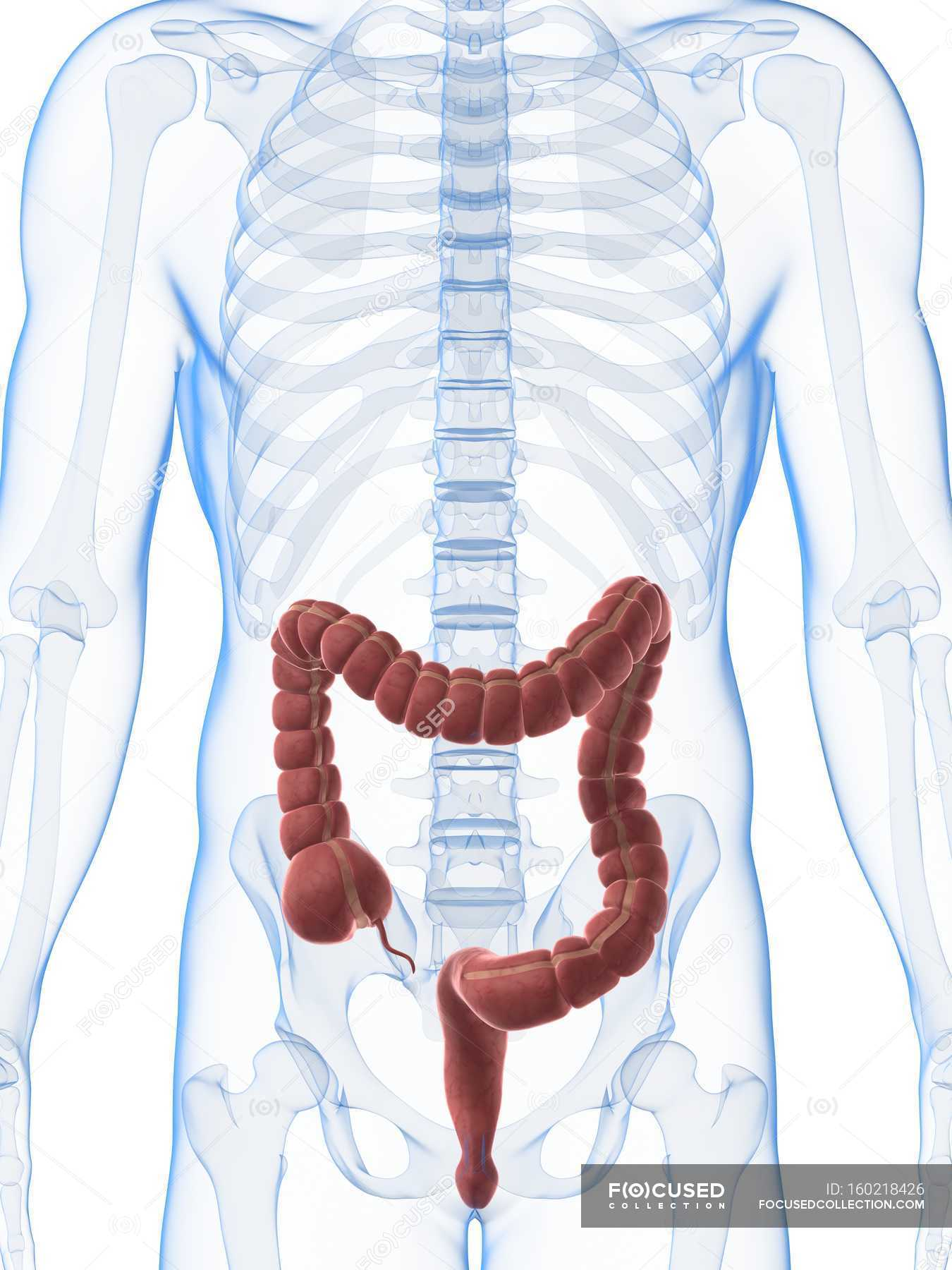 Anatomy Of Normal Large Intestine White Background Front View